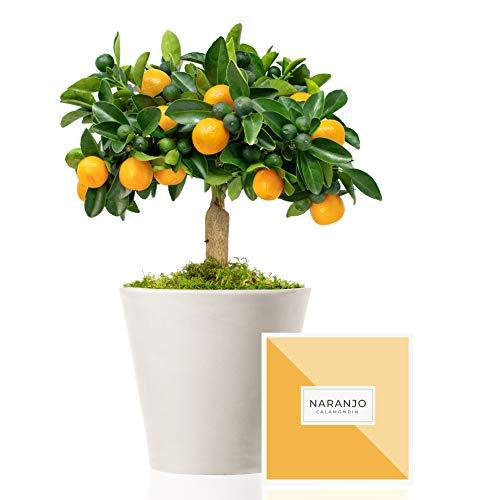 Naranjo Enano Calamondin 38 cm en maceta de 16 cm diámetro entregado en caja de...